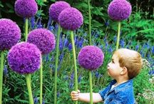 Allium / Allium