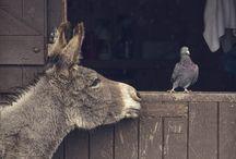 donkeys and buffalo