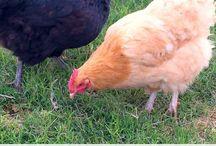 Chickens !