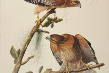 Loving the Artwork of Audubon