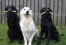 Abchundetræning.dk  / Mine hunde