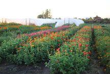 cut flower farming