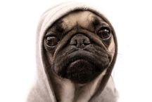 Pugs!!!!!!!!!only pugs / I love pugs. They are so cute . With wrinkles and so chubby. So adorable  / by Megan Brown