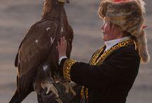 Golden Eagle hunting