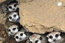 z Animals Mongoose family herpestidae yellow mongoose banded mongoose meerkat other mongooses