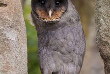 Owls / Bird, owls