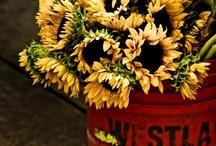 Illustrations - sunflowers