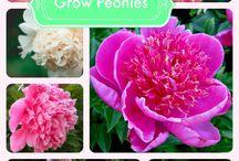 OOh la la Peonies<3 / Love the blooms / by Debbie Lachenmeier Cecak