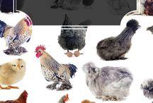 Kippen -Poultry