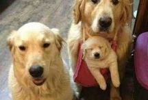 Golden Retreiver / by Simple Solutions Organizing & More