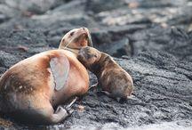 """Galapagos / Arcipelago vulcanico di grandioso interesse naturalistico grazie all'incredibile varietà di specie vegetali e animali endemiche, ma anche di habitat e paesaggi mozzafiato. Impossibile non rimanere rapiti dalla vista delle famose testuggini giganti o dei simpatici leoni marini, mentre gli amanti del diving potranno vivere l'indimenticabile esperienza di nuotare nelle acque blu di una delle destinazioni considerate """"top"""" per le immersioni subacquee."""