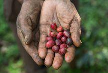 Wildkaffee / Alles was es rund ums Thema Wildkaffee zu Wissen gibt.
