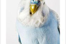 Andulky - Parakeet