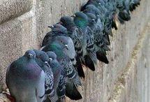 I love pigeons