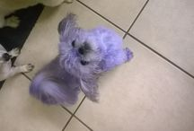 Pet grooming / Poodle purple