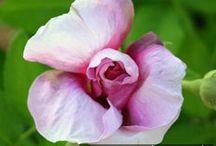 mine historiske roser /  historiske roser i min have - roses in my garden