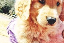 One day I will have a golden retriever