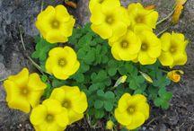 Oxalis ( uyku çiçeği )