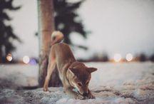 Shiba / Dog