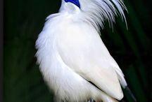 Fauna - птицы - Балийский скворец