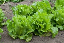growing lettuce from root