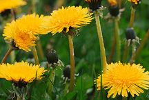 Dandelion and dandelion wishes/ Voikukkia / Blow your sorrows or wishes in the air with Dandelions...