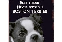 Boston Love / Because Boston Terriers are the best! For my furry baby, Shaw.
