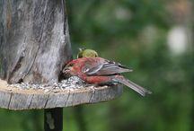 Linnut,birds