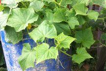 Выращиваем огурцы в бочках / Делаем отверстия в дне бочки и заполняем в такой последовательности: 1)дренаж ( щебень, черепки или керамзит), 2)палочки, очистки овощей, скорлупа от яиц, трава, 3) слой обычной земли и 4) плодородный слой почвы 15-20см. Бочку заполнить на 5см ниже края. Высадить рассаду по 5-6 кустиков на бочку. Поливать не холодной водой, в холодные ночи укрывать.  Актуально для небольших участков и для людей пожилого возраста ( не наклоняться).