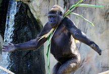 Gorillas / by Carla Haught