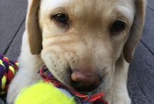 Finn the Dog / English Style Yellow Lab