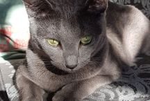 Kot rosyjski niebieski