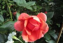 Roses / love roses