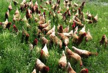 Chicks & Chooks