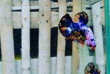 bettas for sell from indonesia