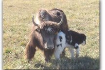 Mongolia Cattle Breeds #1