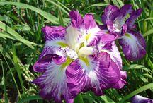 Iris ensata- japońskie.