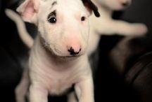 Bullterrier / #bullterrier #bullies #ebt