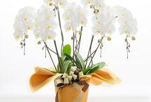 Hanamasa Phalaenopsis/Orchid / ハナマサの胡蝶蘭/蘭鉢です。
