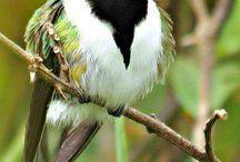 Birdieees