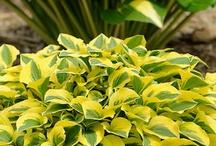 Hostas / plants