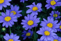 Een blauwe korenbloem brengen