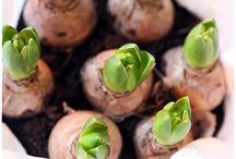 Kasvio mukula- ja sipulikasvit