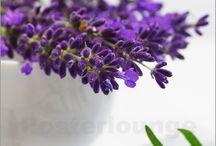 Lavendel / Lavendel