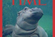 Hipopotami - Hippopotamus