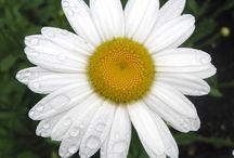 Please Don't Eat the Daisies / Daisy Flower / by Lynn Marr-Loughrie