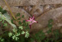 Plantas medicinales / Plantas medicinales y propiedades, muchas de ellas además son flora espontánea que crece en Asturias.