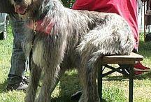 Irische Wolfhound Hunde