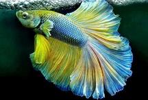 Betta Splendens / O krásnej rybičke Betta Splendens