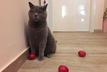 British Shorthair cats / Οι αγαπημένες μου γατόφατσες